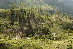 Group of young pine trees. In the nature in Gran Canaria Stock Photos