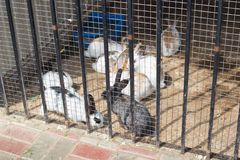 Group of young rabbits in a farm behind the fencerabbit in far royalty free stock photo