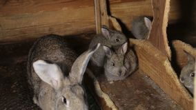 A group of young rabbits in the hutch.  stock video