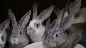 A group of young rabbits in the hutch.  stock video footage