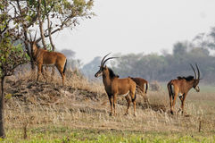 A group of young sable antelope grazing in the Kafue national pa. Rk in Zambia. The group was composed of 10 to 15 animals, all are youg males royalty free stock photos