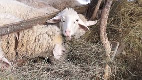 Group of young sheep eating hay on a barn. Outdoor stock footage