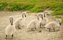 Group of young swan chicks Stock Photo