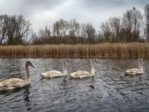 A group of young swans swimming peaceful in the water stock photos