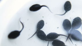A group of young tadpoles on white background, macro shot. A group of young tadpoles on white background stock video footage