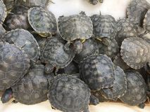A group of young tortoises. Background royalty free stock photography