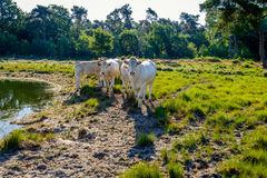 Group of young white cows looking curiously at the photographer Stock Photos