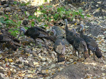 A group of young wild turkeys. Royalty Free Stock Images