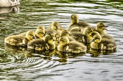 Fluffy goslings in a polder ditch stock image