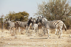 Group of zebra. In the Namibia national park Stock Images