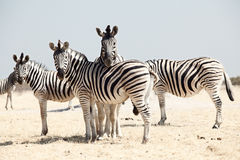 Group of zebra Royalty Free Stock Photos