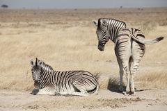 Group of zebra. In the Namibia national park Stock Photo