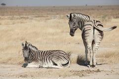 Group of zebra Stock Photo