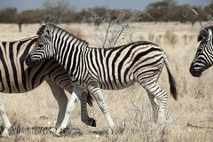 Group of zebra. In the Namibia national park Stock Photography