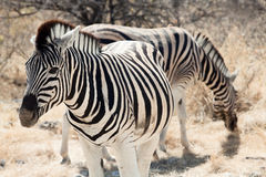 Group of zebra. In the Namibia national park Royalty Free Stock Photography