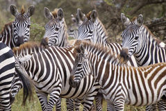 Group of zebra close-up. Lioness eating her prey. Sunset Royalty Free Stock Photos