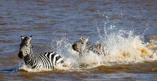 Group zebra crossing the river Mara. Kenya. Tanzania. National Park. Serengeti. Maasai Mara. Royalty Free Stock Image