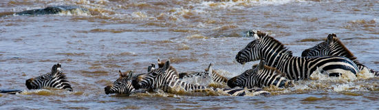 Group zebra crossing the river Mara. Kenya. Tanzania. National Park. Serengeti. Maasai Mara. Stock Photos
