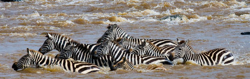 Group zebra crossing the river Mara. Kenya. Tanzania. National Park. Serengeti. Maasai Mara. Stock Photo