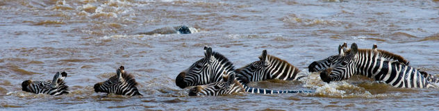 Group zebra crossing the river Mara. Kenya. Tanzania. National Park. Serengeti. Maasai Mara. Stock Images