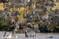 Group zebra crossing the river Mara. Kenya. Tanzania. National Park. Serengeti. Maasai Mara. Royalty Free Stock Images