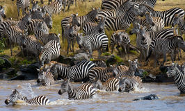Group zebra crossing the river Mara. Kenya. Tanzania. National Park. Serengeti. Maasai Mara. Stock Photography