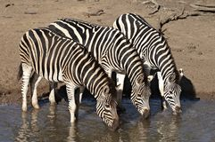 Group of zebra drinking Stock Images