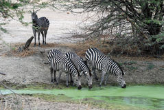 Group zebra drinking by green waterhole - Tanzania. Small group Zebra - Equus burchelli, also known as the common zebra or Burchell's zebra - drinking by green royalty free stock images