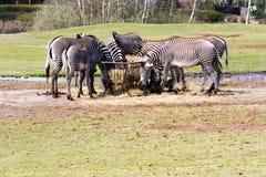 Group of Zebra Stock Image