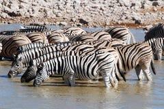 Group zebra Etosha National park. Group Zebra - Equus burchelli, also known as the common zebra or Burchell's zebra - by waterhole Etosha National Park Namibia stock photography