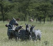 Group of zebra, 2 fighting and one of the fighting showing teeth. With green grass and trees in background. Masai Mara, Kenya, Africa stock images