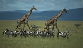 Group of zebra in foreground, some looking at camera, royalty free stock images