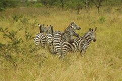 Group of zebra's in Akagera National Parc, Rwanda, Africa. Group of wild zebra's in Akagera National Parc, Rwanda, Africa Stock Photo