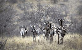 Group of zebra`s from backside in bush wildlife landscape