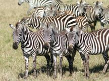A group of Zebra in the Savanna, Masai Mara Royalty Free Stock Photo