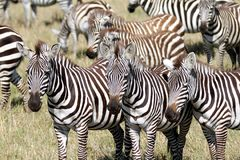 A group of  Zebra in the Savanna, Masai Mara Royalty Free Stock Photos