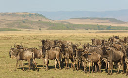 Group of zebras. On the African plains Royalty Free Stock Photos