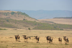 Group of zebras. On the African plains Stock Photography