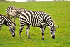 A group of zebras Stock Photo