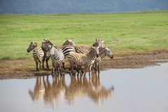 Group of Zebras along River in Africa Stock Images