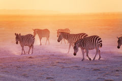 Group of zebras in the Amboseli National Park Royalty Free Stock Photography