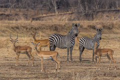 Zebras and impalas. Impalas and zebras in the Southern Luangwa National Park stock image