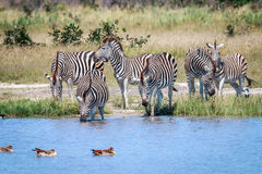 Group of Zebras drinking in Chobe. Stock Photography