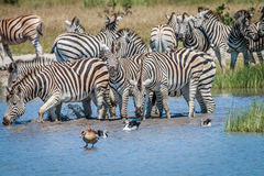 Group of Zebras drinking in Chobe. Royalty Free Stock Images