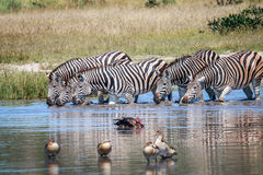 Group of Zebras drinking in Chobe. Royalty Free Stock Photos