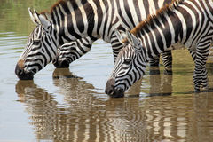 Group of zebras drinking Royalty Free Stock Photography