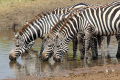 Group of zebras drinking Royalty Free Stock Images
