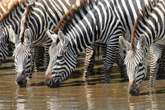 Group of zebras drinking Royalty Free Stock Photo