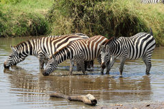 Group of zebras drinking Stock Photos
