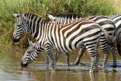 Group of zebras drinking Stock Images